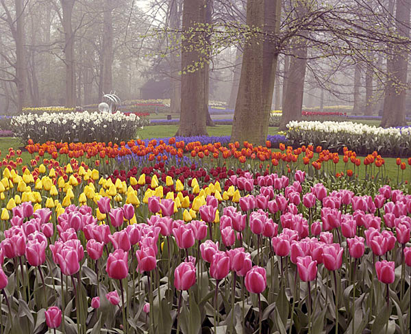 Tulips in the Mist - Holland