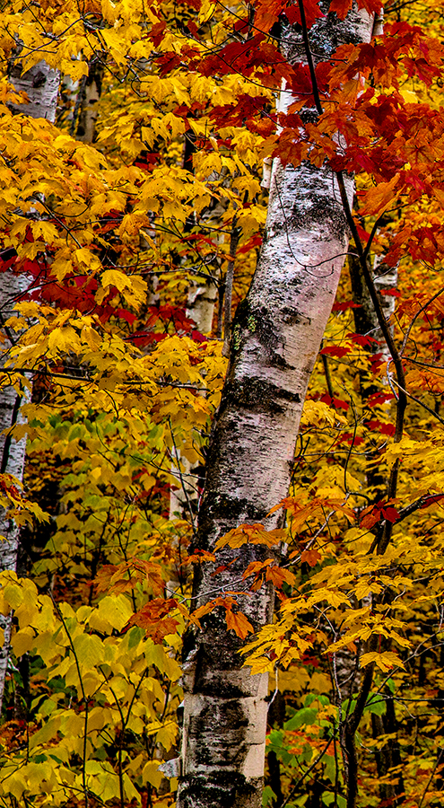 Pictured Rocks Birch Trees #1