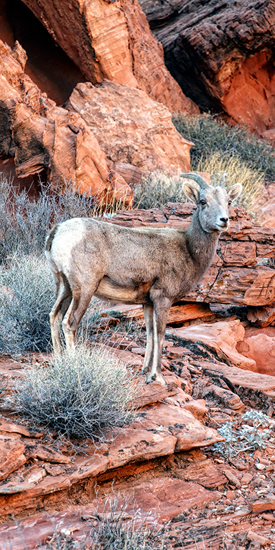 Valley of Fire #2 - Mountain Sheep